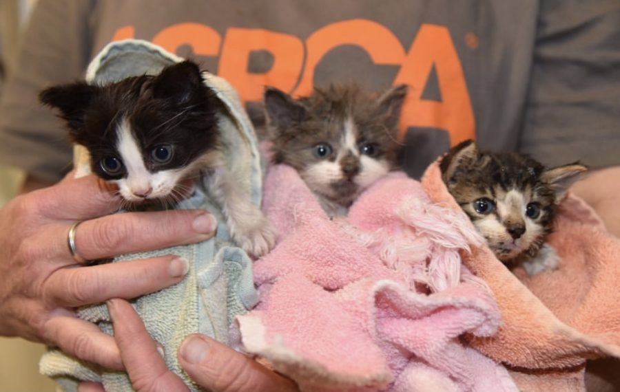 ASPCA volunteer saves three kittens from the wildfires in Northern California.